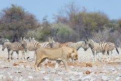 Лев и зебры бежать прочь, defocused на заднем плане Сафари в национальном парке Etosha, Намибия живой природы, Африка Стоковые Изображения RF