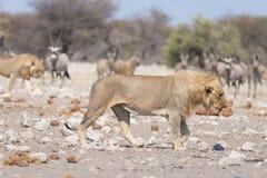 Лев и зебры бежать прочь, defocused на заднем плане Сафари в национальном парке Etosha, Намибия живой природы, Африка Стоковое Изображение RF