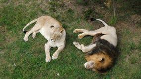 Лев и львица в зоологическом парке сток-видео
