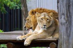 Лев и львица в зоопарке стоковое изображение rf