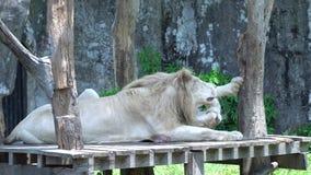 Лев и львица шаловливая и лежа деревянная земля, в зоопарке акции видеоматериалы