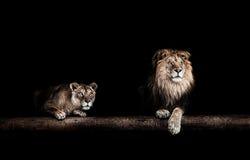 Лев и львица, портрет красивые львы, львы в da Стоковое фото RF