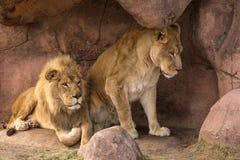 Лев и львица Стоковые Изображения