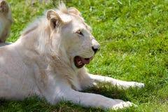 Лев и это альбиноса львица Стоковая Фотография RF