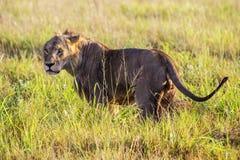 Лев идя саванна в парке холмов taita на восход солнца Стоковое Изображение