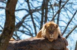 Лев кладет на утесы и взгляды в камеру Стоковые Фотографии RF