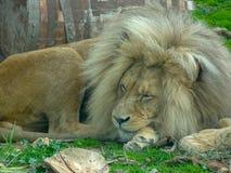 Лев король животных отдыхает стоковая фотография rf