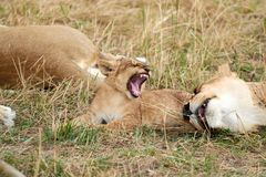Лев младенца реветь стоковое изображение rf