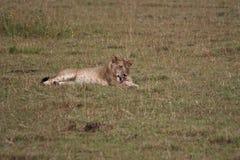 Лев моя его нога ` s стоковые изображения rf