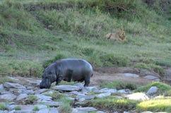 Лев наблюдая гиппопотам Кения Стоковое фото RF