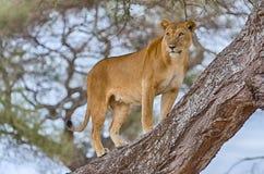 Лев, национальный парк Tarangire, Танзания, Африка стоковая фотография rf