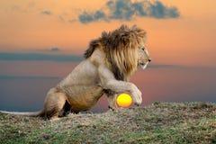 Лев на предпосылке захода солнца стоковая фотография rf