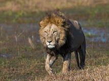 Лев на пути Перепад Okavango стоковое изображение rf