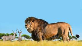 Лев на саванне Стоковая Фотография