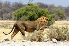 Лев на черенок - лоток Африка etosha Намибии стоковые фотографии rf