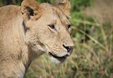 Лев ослабляет на саванне 6 Стоковые Фотографии RF