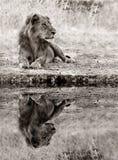 Лев ослабляя на крае вод Стоковое Изображение RF