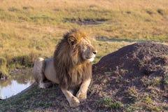Лев отдыхает около воды вышесказанного masai Кении mara стоковая фотография rf