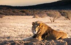 Лев отдыхая на утесе в Намибии, Западной Африке Стоковая Фотография