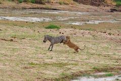 Лев охотится зебра Стоковая Фотография