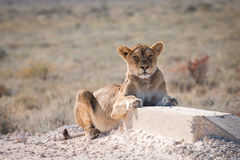 Лев одно Etosha Femal стоковая фотография