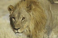 Лев (пантера Лео) Стоковые Изображения
