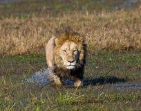 Лев плавает через болото Перепад Okavango стоковое фото rf