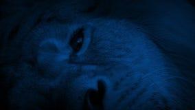 Лев раскрывает глаз в темноте видеоматериал