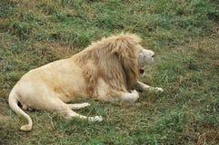 Лев реветь в природе сафари Стоковое фото RF
