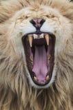 Лев реветь стоковая фотография rf