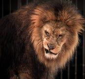 Лев реветь стоковое фото