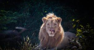Лев сидя величественно в джунглях стоковое фото rf