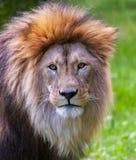 Лев смотрит в камеру Стоковая Фотография RF