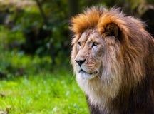 Лев смотрит к левой стороне Стоковая Фотография RF