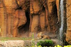 Лев смотря водопад Стоковые Фотографии RF