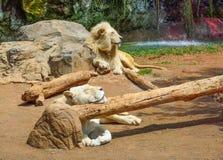 Лев спать в зоопарке Стоковая Фотография