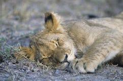 Лев спать на конце-вверх саванны Стоковое Изображение