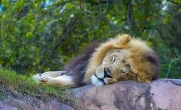 Лев спать на утесе Стоковая Фотография