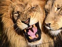 Лев спутывать Стоковые Изображения