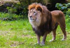 Лев стоит на траве Стоковые Изображения RF
