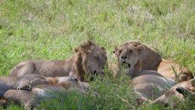 Лев с лаской львицы лежа под тенью деревьев в африканской саванне видеоматериал