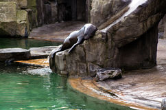 Лев ‹â€ ‹â€ моря, дружелюбные животные на зоопарке Праги Стоковые Фотографии RF