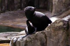 Лев ‹â€ ‹â€ моря, дружелюбные животные на зоопарке Праги Стоковые Изображения RF