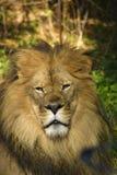 Лев стоковая фотография rf