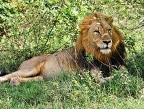 Лев стоковые фото