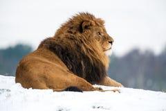 Лев Стоковое Изображение RF