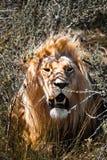 Лев Стоковые Изображения