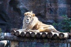 Лев Стоковые Изображения RF