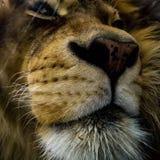Лев стоковое фото rf