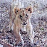 Лев Cub в приложении зоопарка Стоковые Фотографии RF